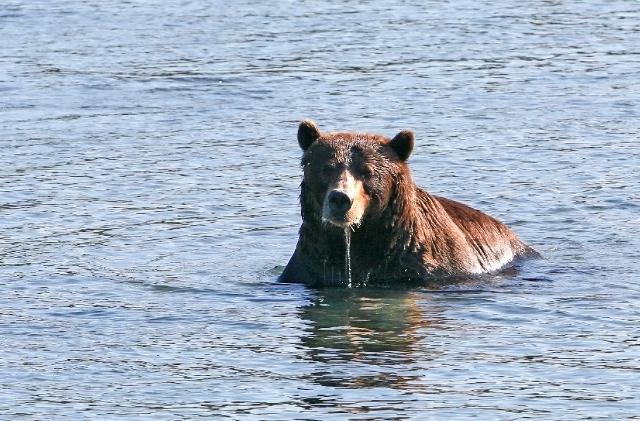 Медведи в Кроноцком заповеднике
