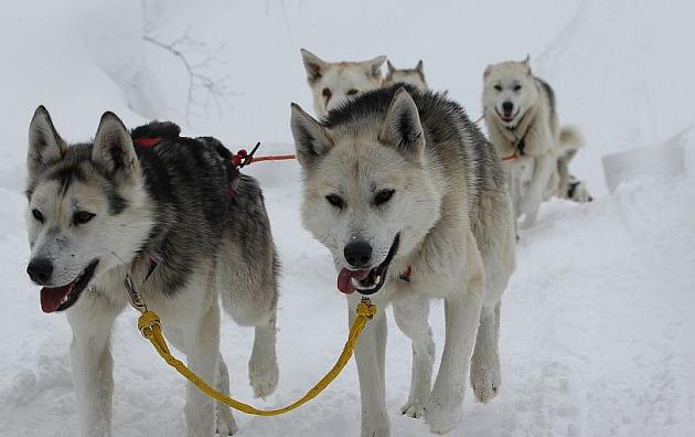 Туристы смогут доехать из Приморья на Камчатку на собачьих упряжках